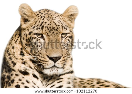 Beautiful leopard closeup - isolated on white background