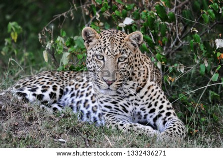 Beautiful leopard relaxing #1332436271