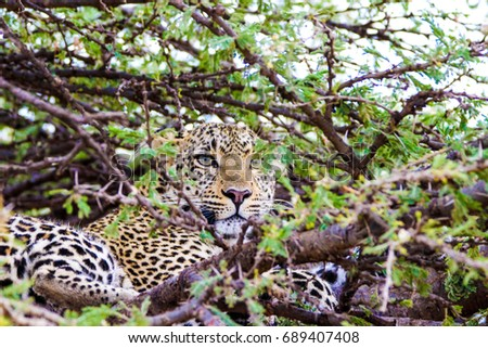 beautiful leopard sitting on a tree #689407408