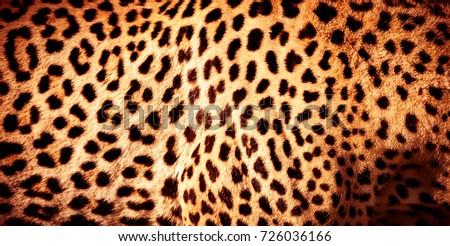 Beautiful leopard skin background, natural orange fur with black spots, wild African animal skin pattern #726036166