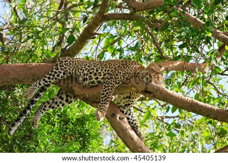 Beautiful leopard sleeping on tree in Serengeti, Tanzania