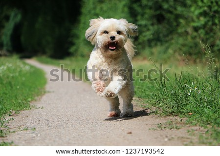 beautiful lhasa apso is running on a small way in the garden