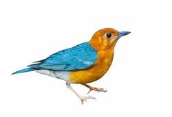 Beautiful light blue bird isolated standing on  white background, orange bird, blue bird.