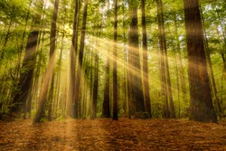 Beautiful light from sunrays in the Redwoods