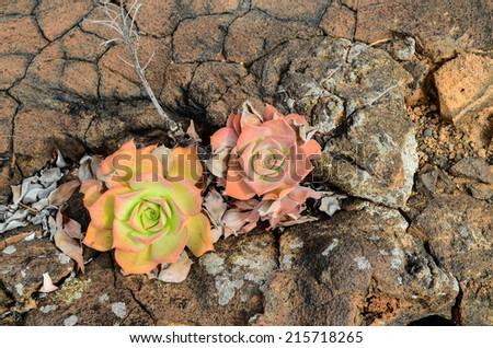 Beautiful Light Orange Succulent Flower of Cactus