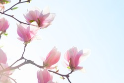 Beautiful light pink magnolia flowers on blue sky background. Low Angle View.