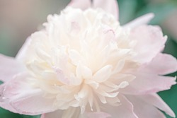 Beautiful light pink peony flower on green background. Pretty artistic organic floral natural theme backdrop. Amazing seasonal summer outdoor wallpaper.