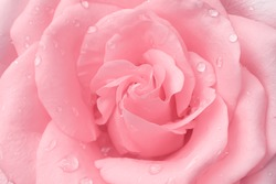 Beautiful light pink rose flowers fresh sweet petal patterns  with water drops for valentine day background