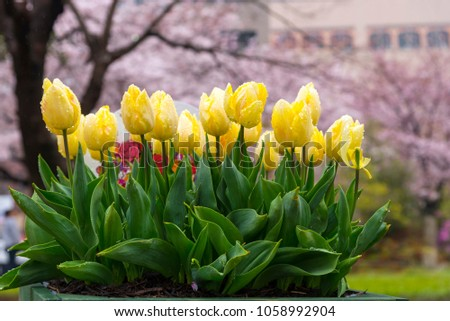 Stock Photo beautiful light yellow and white pastel color tulips blooming and raindrop on flower with sweet pink cherry blossom background in outdoor garden, yokohama, japan