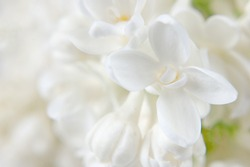 Beautiful lilac flowers bunch background, closeup