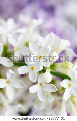 beautiful lilac flowers  close up, soft focus
