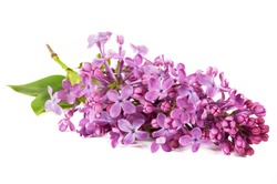 Beautiful lilac flowers isolated on white background, closeup