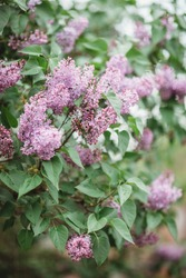 Beautiful lilac flowers with selective focus. Purple lilac flower with blurred green leaves. Spring blossom. Blooming lilac bush with tender tiny flower. Purple lilac flower on the bush.