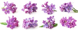 Beautiful Lilac set isolated on white background