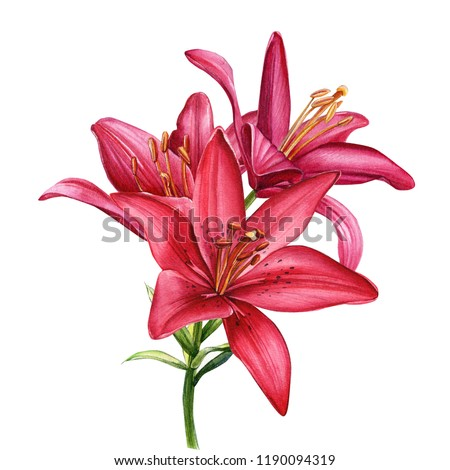 beautiful lily branch, red flowers on an isolated white background, watercolor illustration, greeting card