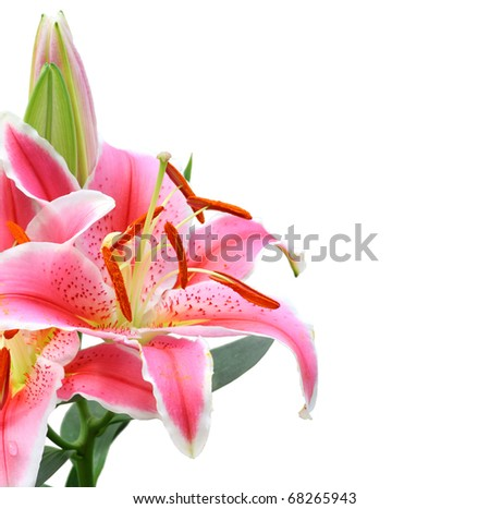 Beautiful Lily flower isolate on white