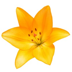 Beautiful lily flower yellow isolated on white background
