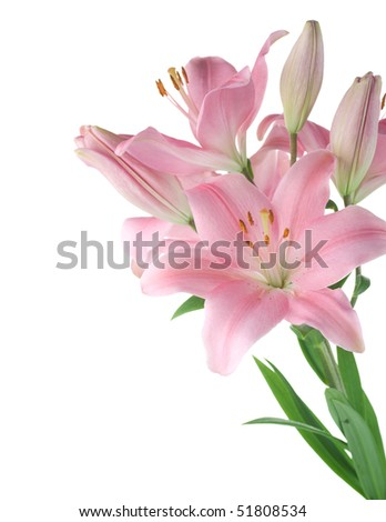 Beautiful Lily over white
