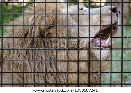 beautiful lion behind fence roaring #1330189241