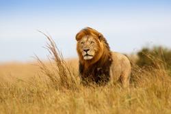 Beautiful Lion Caesar in the golden grass of Masai Mara, Kenya