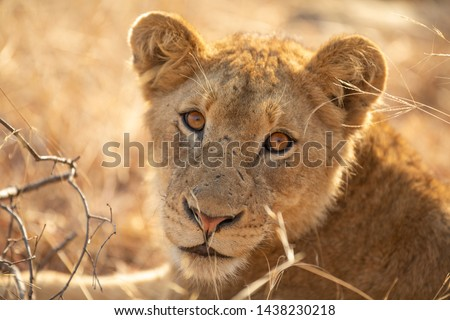 Beautiful lion pride with young males and older males