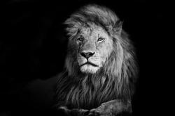 Beautiful Lion Romeo 2 in Masai Mara, Kenya