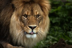 Beautiful Lion sticking his tongue out at the camera.