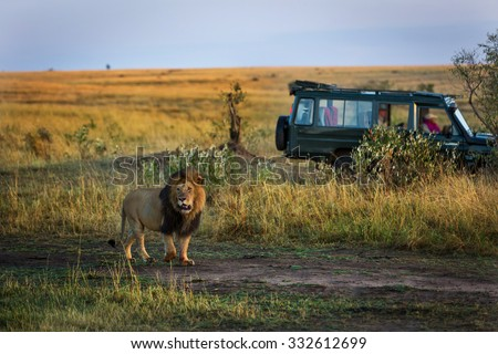Stock Photo Beautiful lion with a safari car in the background in Kenya, Africa