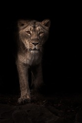 Beautiful lioness hunter stands out from the darkness, full face black night background.