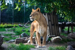 Beautiful Lioness on green background. Amazing beast in it's prime.