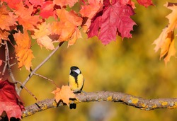 beautiful little bird titmouse sitting in an autumn garden on the branch of a maple with bright red leaves in the fall