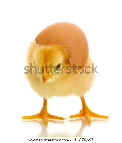 beautiful little chicken and eggshell isolated on the white
