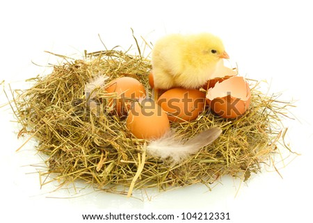 beautiful little chicken, eggs and eggshell in nest, isolated on the white