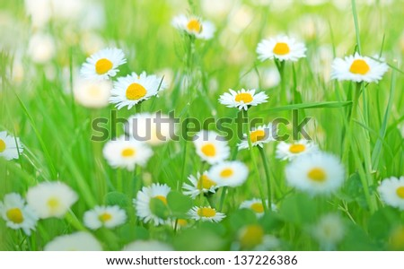 Beautiful little daisy in spring