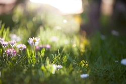 Beautiful little field flowers in fresh green grass at bright morning sun rays diffuse. Selective focus nature light background with copy space