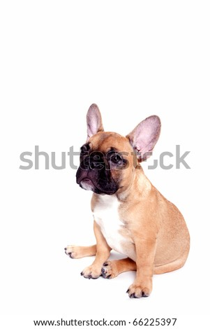 Beautiful little french bulldog puppy on white background