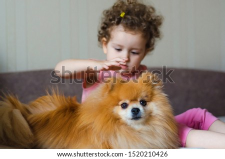 beautiful little girl with curls stroking a red dog Pomeranian German Spitz. faithful and faithful friend. childhood friends. puppy caresses the hostess. Mammal is an adult animal. soft focus #1520210426