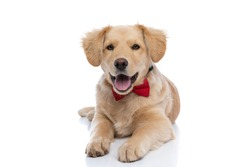 beautiful little golden retriever dog wearing red bowtie, sticking out tongue and panting, laying down isolated on white background in studio