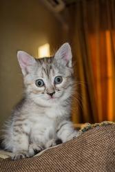 Beautiful little grey kitty close up. A curious kitten on a pillow. Vertical photo.