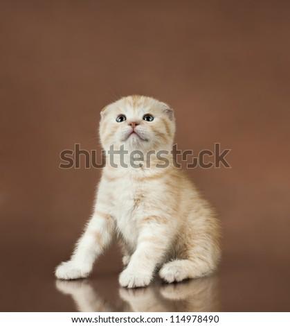 beautiful  little kitten,  breed scottish-fold,   on brown  background  ,stare look up
