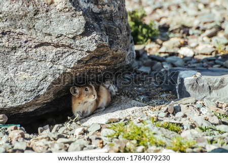Beautiful little pika rodent hiding from heat under stone in shade. Small pika rodent hide from sun under rock in shadow in hot sunny day. Little furry pika animal sits under boulder at hot summer day Zdjęcia stock ©
