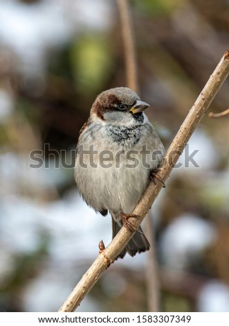 Beautiful little sparrow bird in natural background. Generally, sparrows are small, plump, brown-grey birds with short tails and stubby, powerful beaks. #1583307349