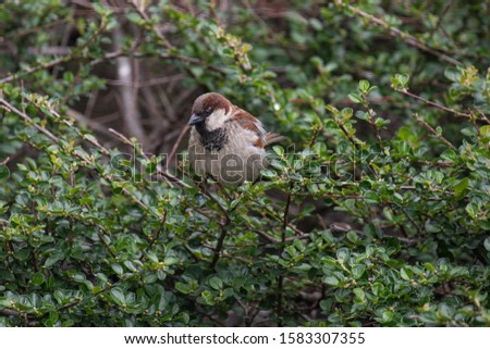 Beautiful little sparrow bird in natural background. Generally, sparrows are small, plump, brown-grey birds with short tails and stubby, powerful beaks. #1583307355