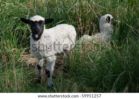 beautiful little white and black sheep in the tall thick green grass
