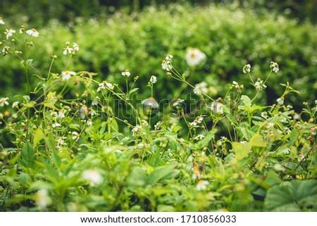 Beautiful little white bidens pilosa flowers blooming in spring