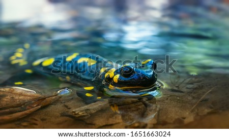 Beautiful lizard Fire salamander in water of a spring stream. An amphibian in a native habitat. Spring, the reproduction period at amphibia ストックフォト ©