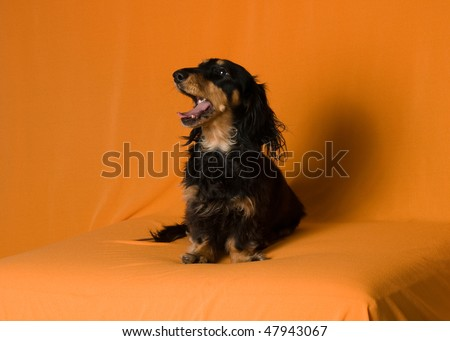 Beautiful Long Haired Dachshund Images