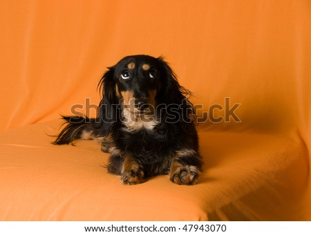 chihuahua long haired dachshund mix. long haired dachshund mix.