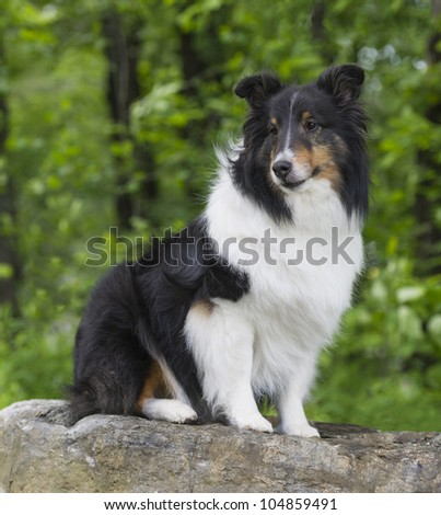 Beautiful long haired Shetland Sheepdog sitting on a rock
