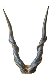 Beautiful Lord Derby eland horns isolated on a white background
